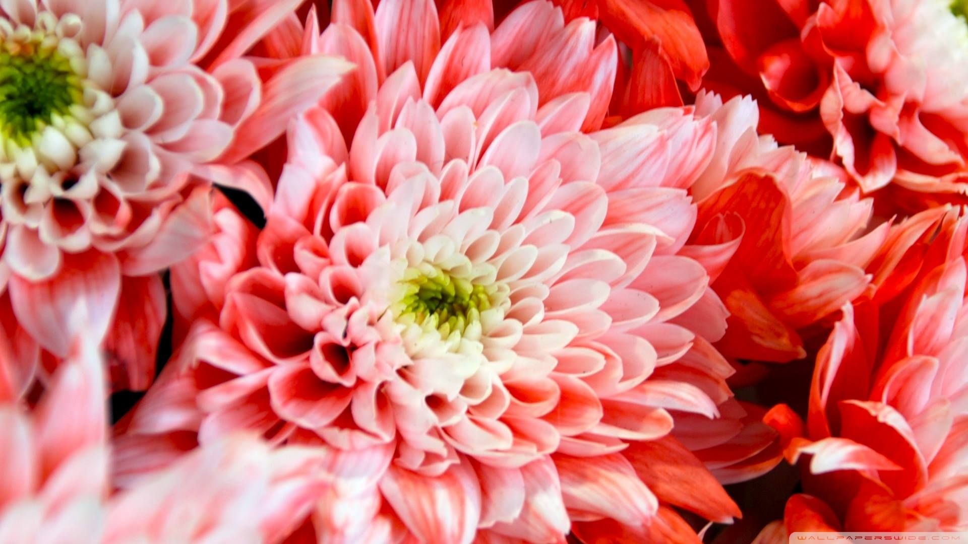 November's birth flower is the Chrysanthemum, which means