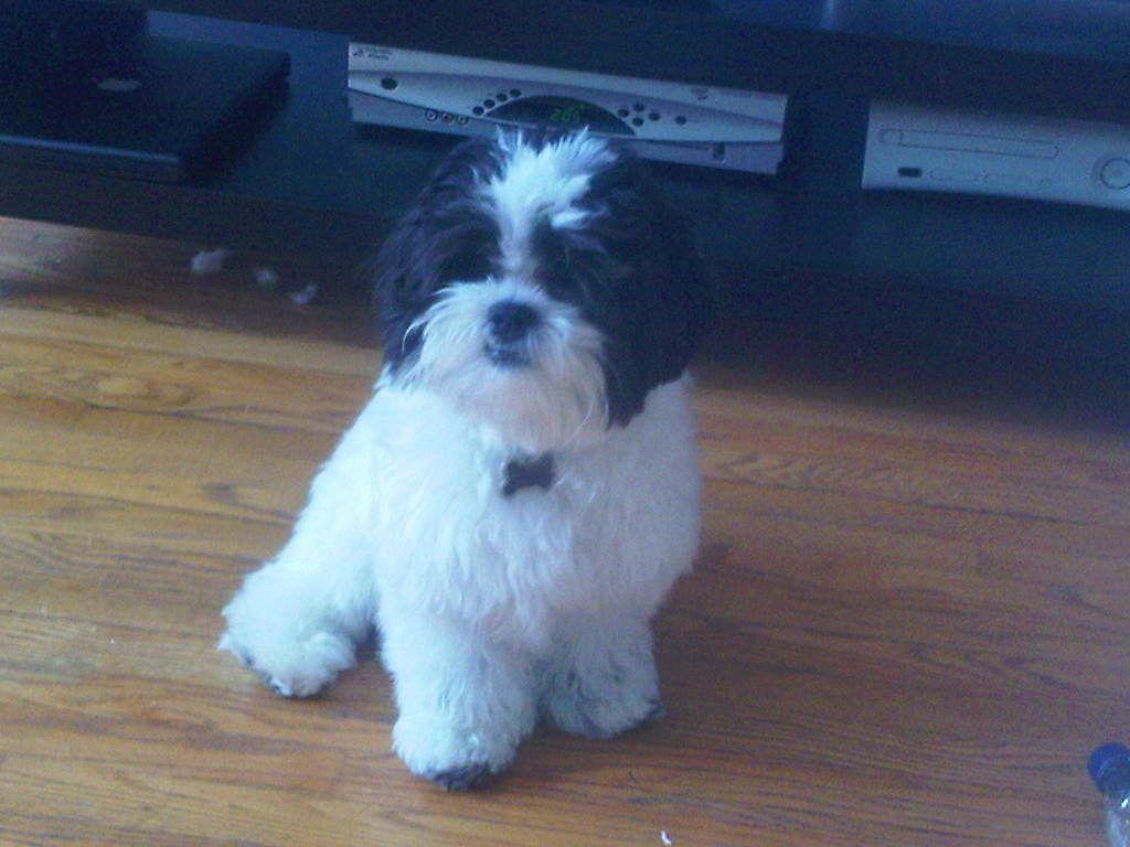 Shichon Teddybear Puppy Bradley Cute Puppies Animals Puppies