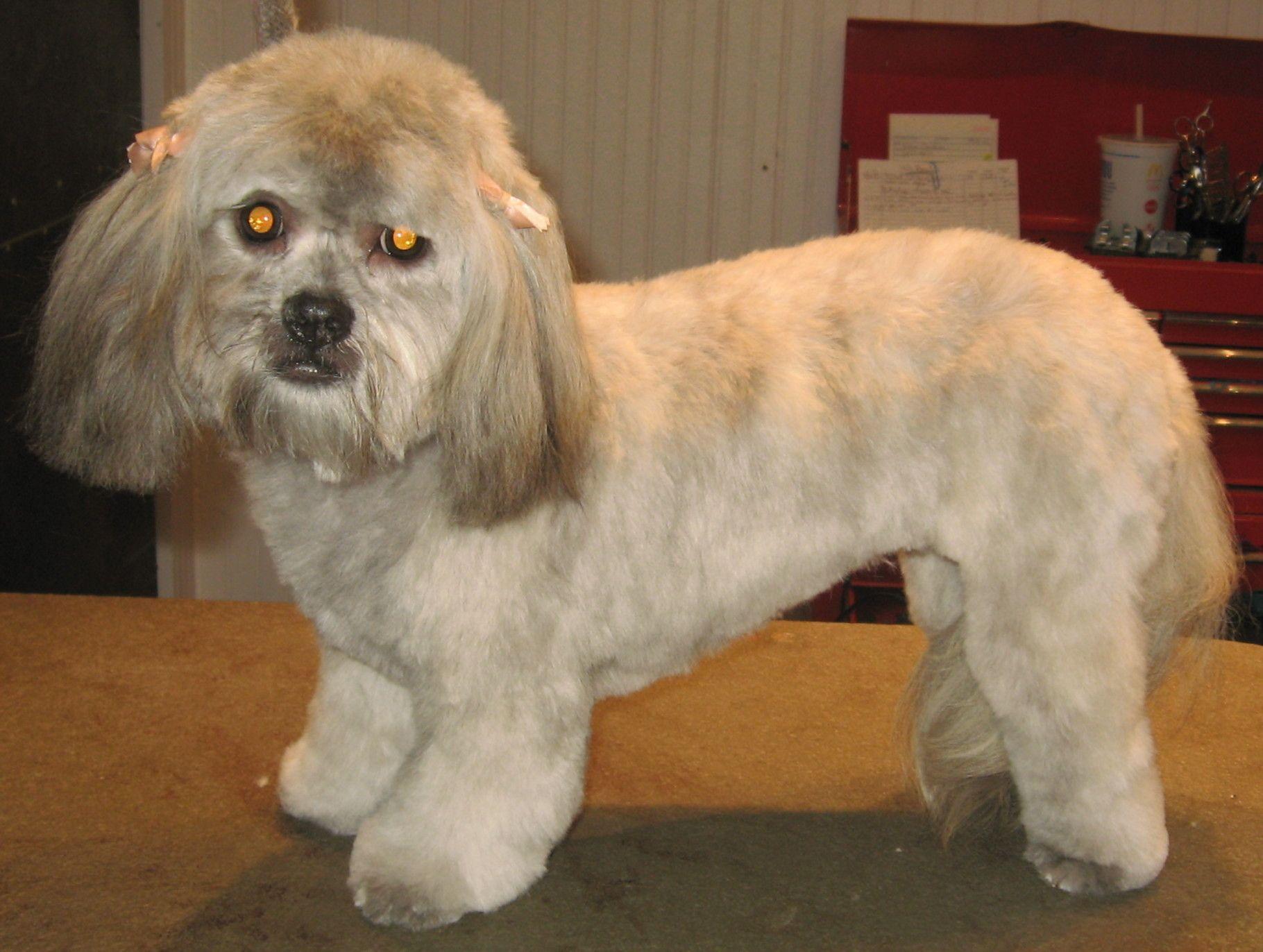 Pomeranian Shih Tzu Poodle Mix Shih Tzu Poodle Shitzu Mix Poodle Mix