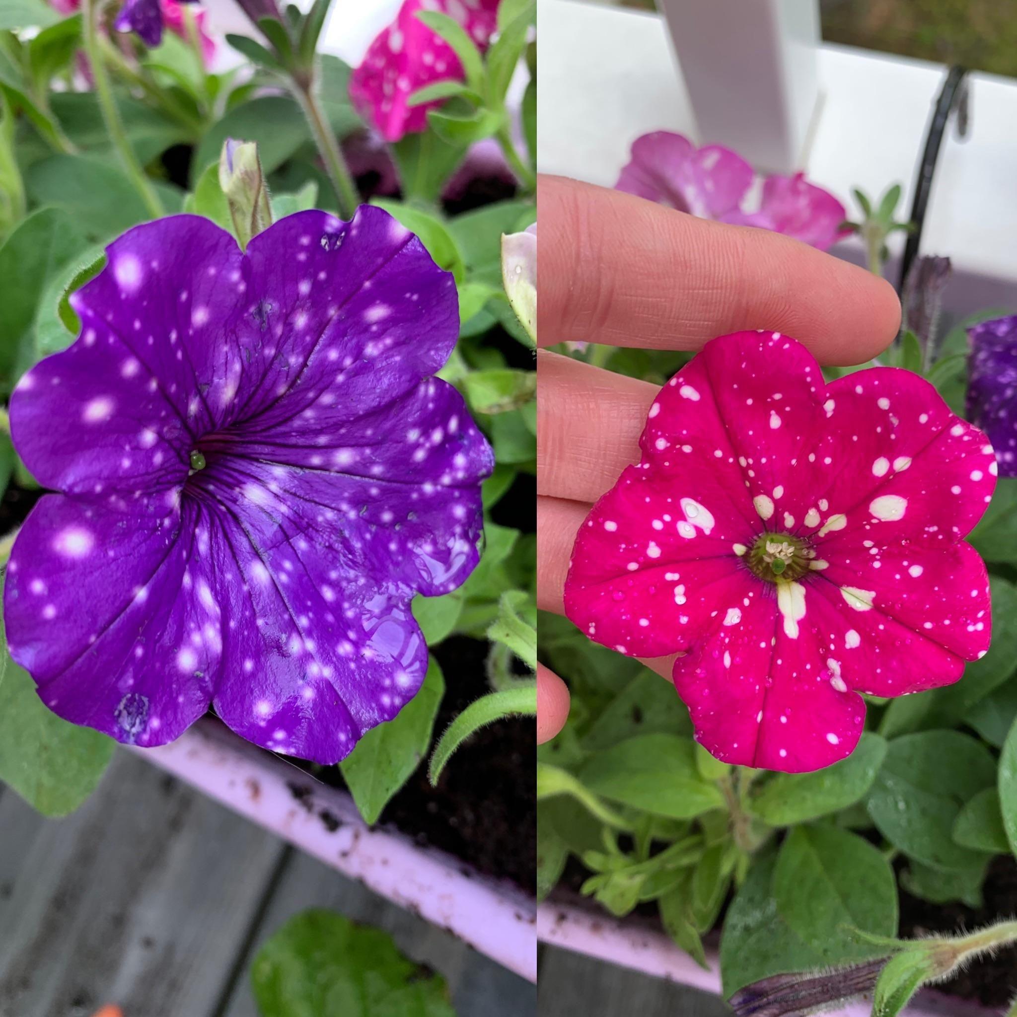 Night Sky And Pink Sky Petunias Gardening Garden Diy Home