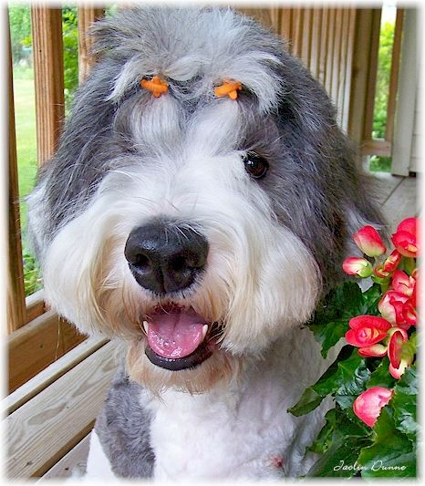 Topknot Decorations Buttons Old English Sheepdog English