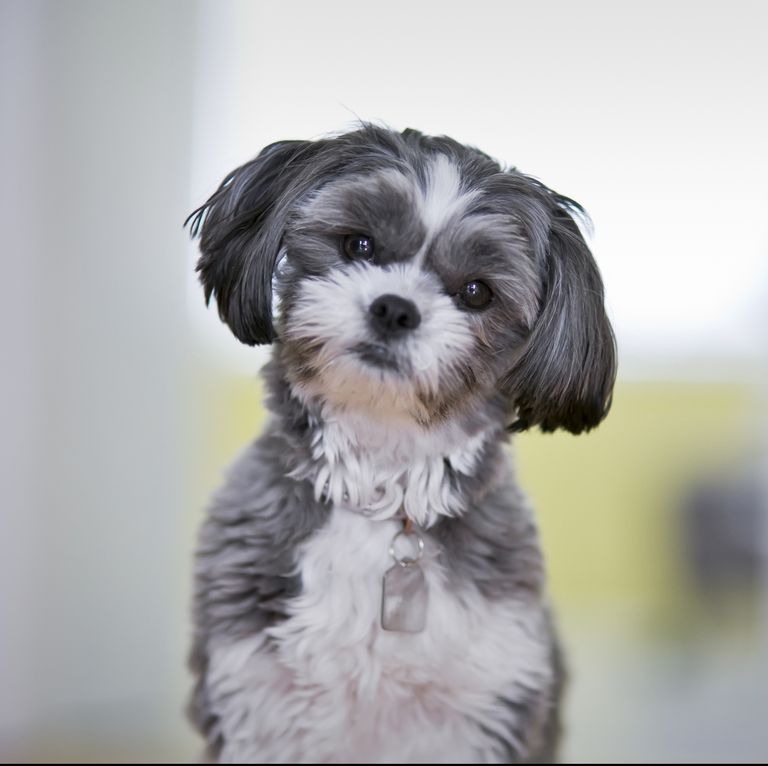 Cute Dog Breeds Like A Maltese That Won T Shed All Over Your House Hypoallergenic Dog Breed Cute Dogs Breeds Shih Tzu Puppy