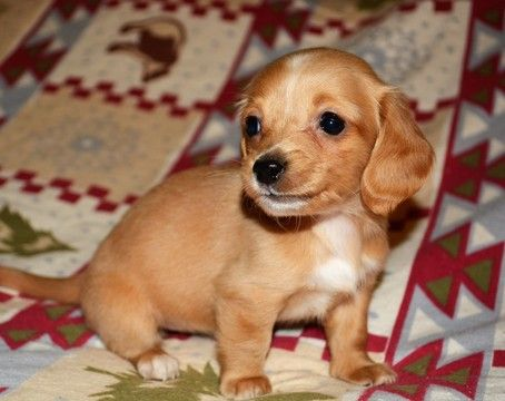 Litter Of 5 Dachshund Puppies For Sale In Ellijay Ga Adn 22422