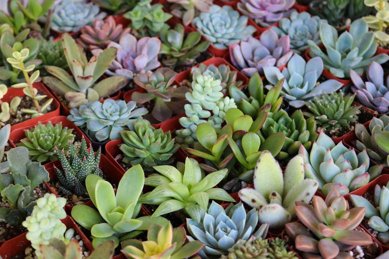 """2"""" Assorted Succulents Succulents, Wholesale succulents"""