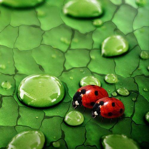 Lady bugs dropping in!