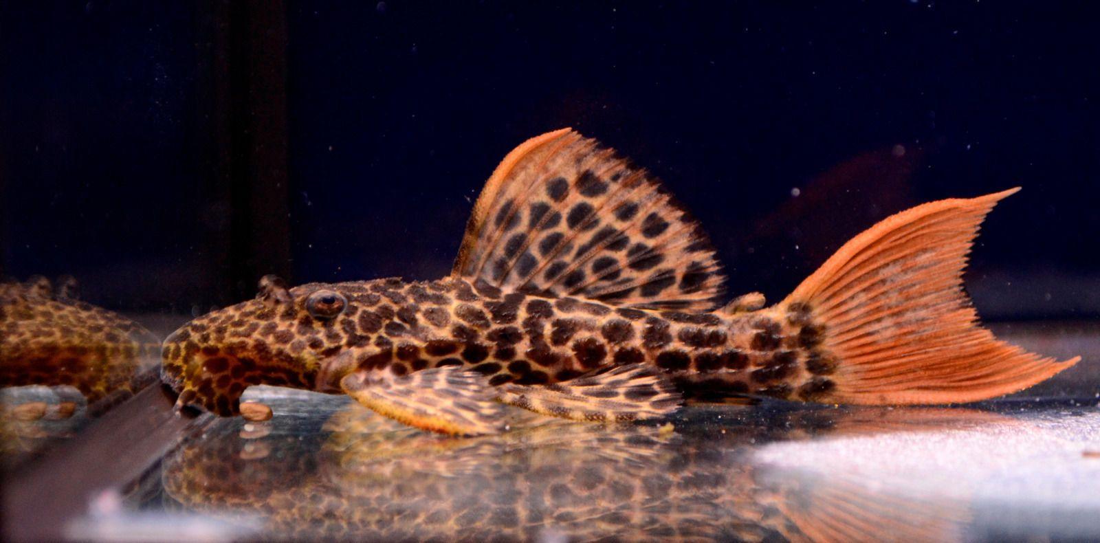 Live Rare Freshwater Fish 2 Leopard Cactus Pleco L 114 Fancy Suckermouth Tropical Fish Aquarium Fish Tropical Fish