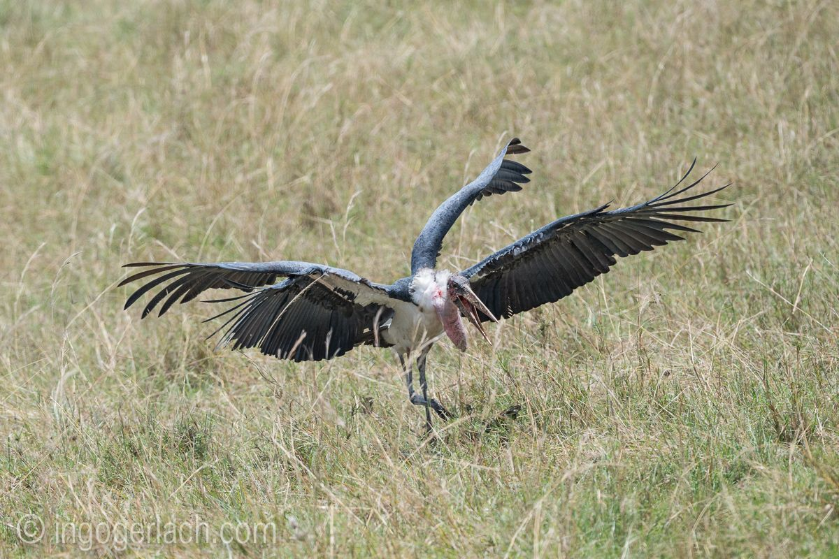 Sensation in der Masai Mara. Marabou mit vier Flügeln fotografiert. ;-)  www.ingogerlach.com