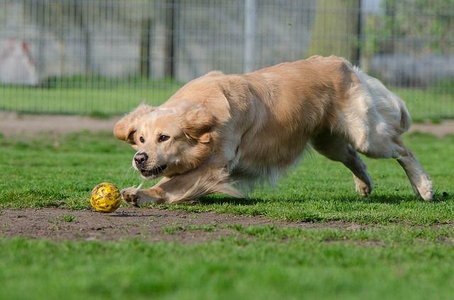 Free Image On Pixabay Golden Retriever Ball Ball Junkie Dogs