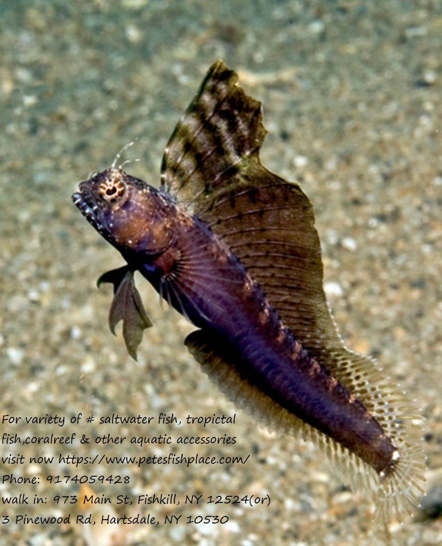 Saltwaterpetstores Saltwaterfish Sailfinblenny The Segmented