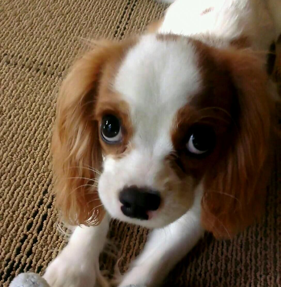 king charles cavalier puppy (With images) King charles