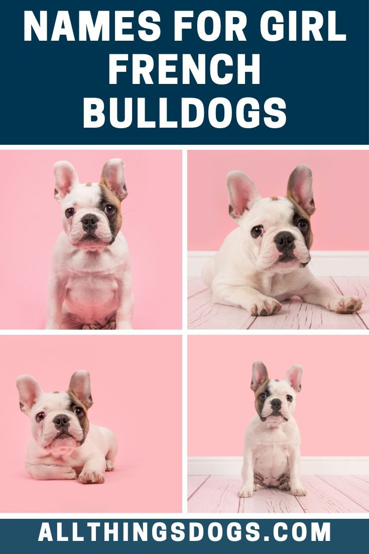 The French Bulldog A Sociable Easygoing And Playful Miniature Bulldog In 2020 French Bulldog Names Bulldog Names French Bulldog Names Girl