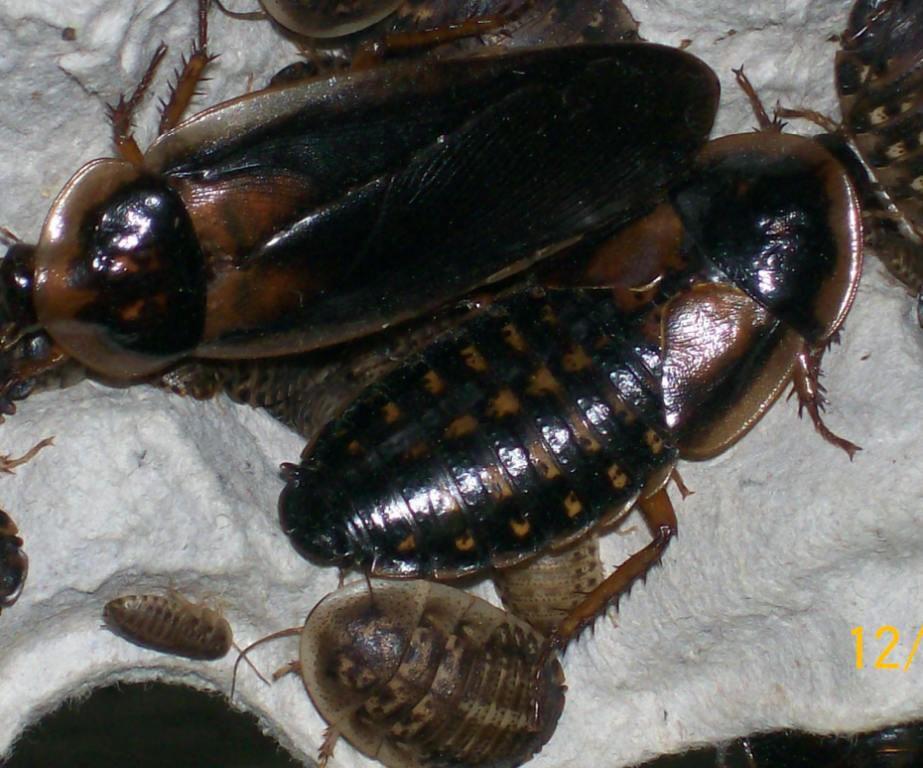 Dubia Roach Dubia roaches, Roaches, Reptile food