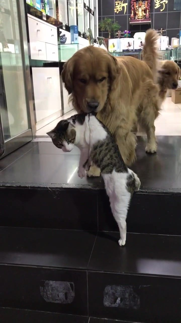 Golden Retriever Sohn Katze   - Eyes - #Eyes #Golden #Katze #Retriever #Sohn