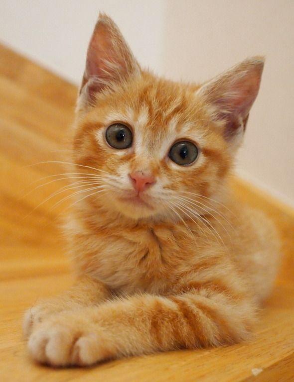 Kiwi On Instagram My Spot On The Couch Cat Gingercat Orangetabby Instacat Catstagram Ilovemycat Littlehandso Orange Tabby Cats Cat Lounge Tabby Cat