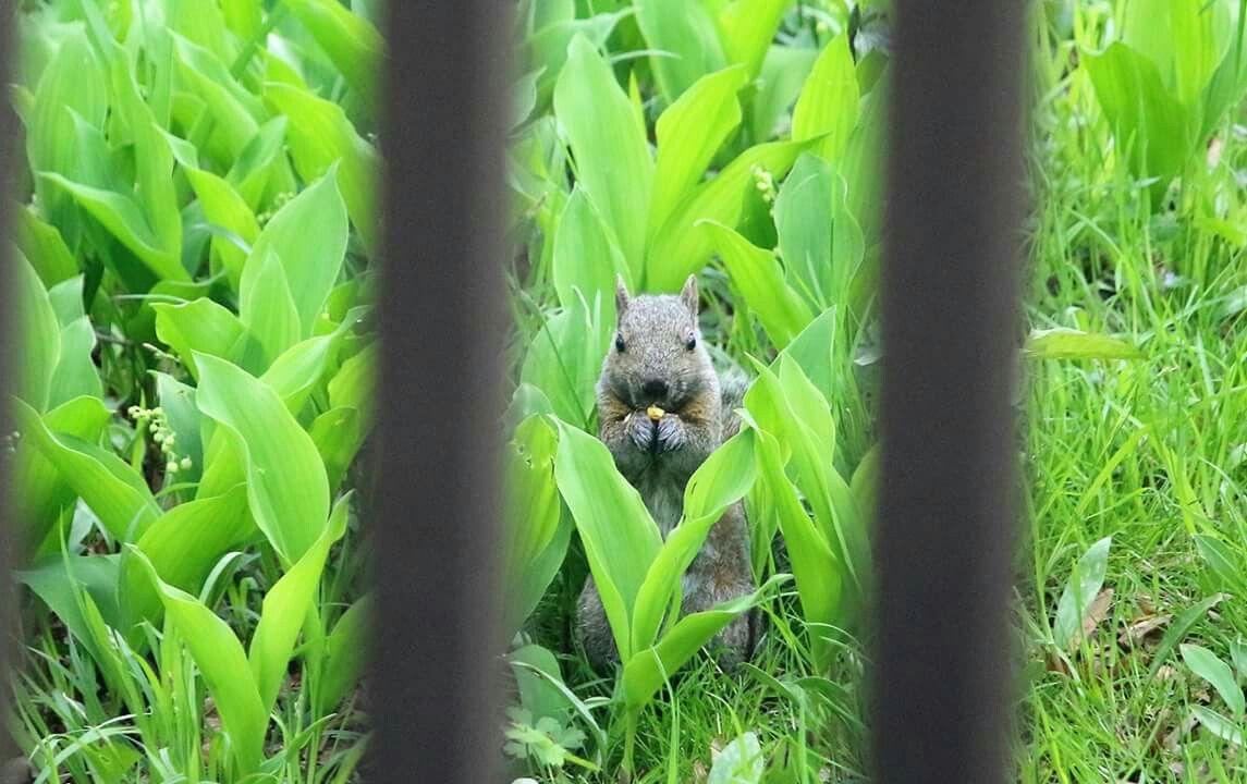 Watching me watching him.  #nationalwildlifefederation #nwf #BackyardHabitat #StarWoods #squirrel #greysquirrel