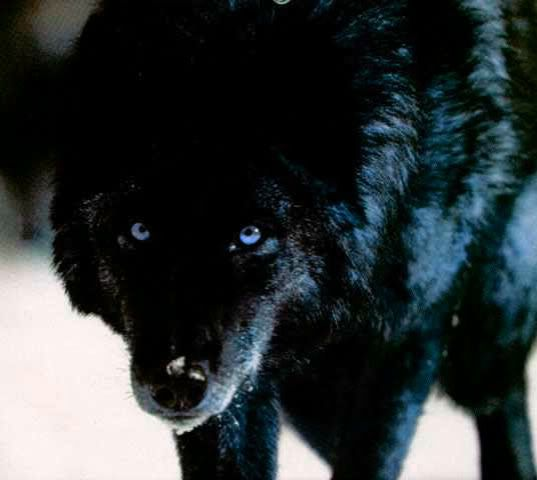 angry black wolf red eyes wwwpixsharkcom images