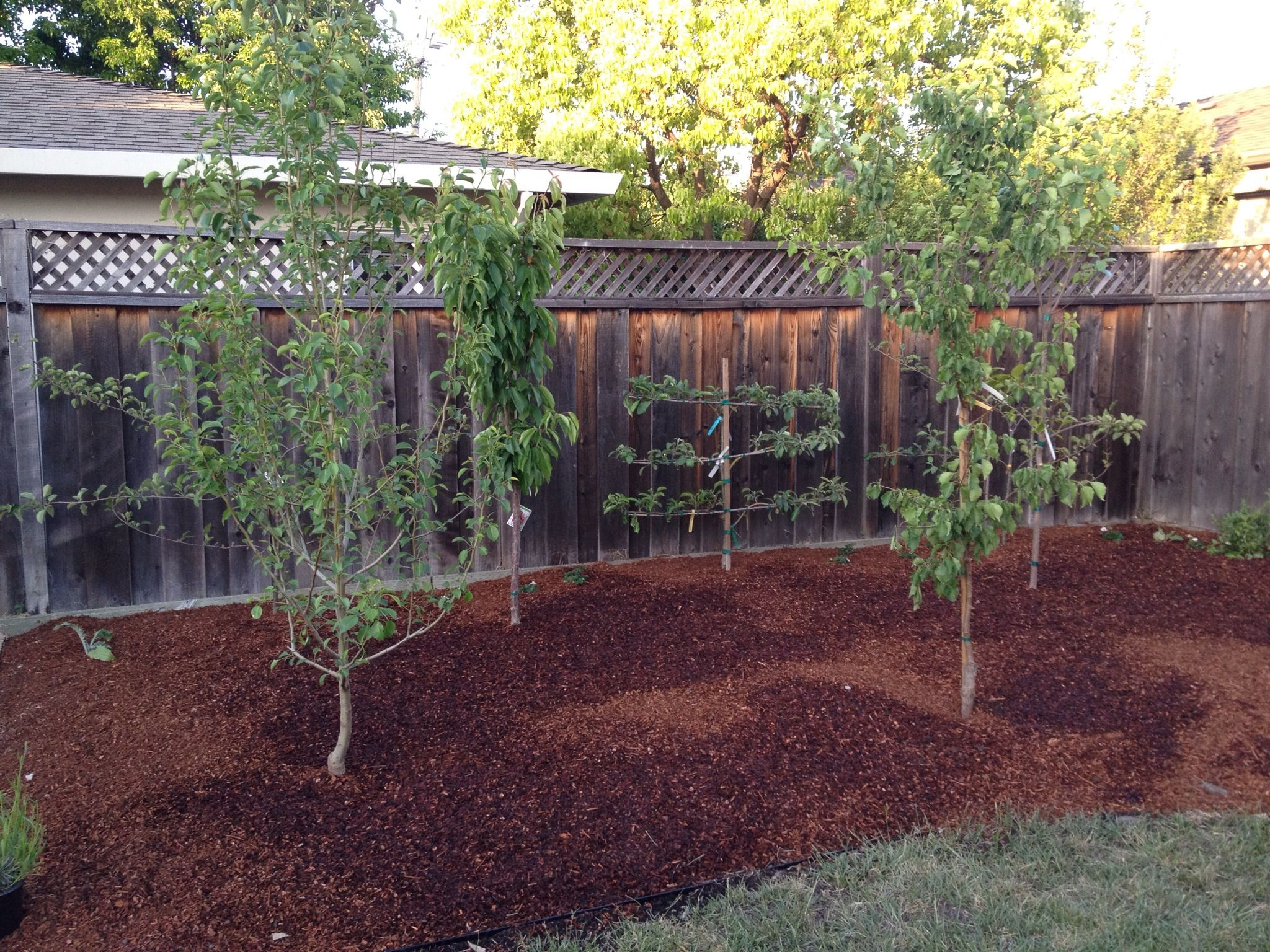 4/28/13: Fruit trees in the backyard planted | Backyard ...