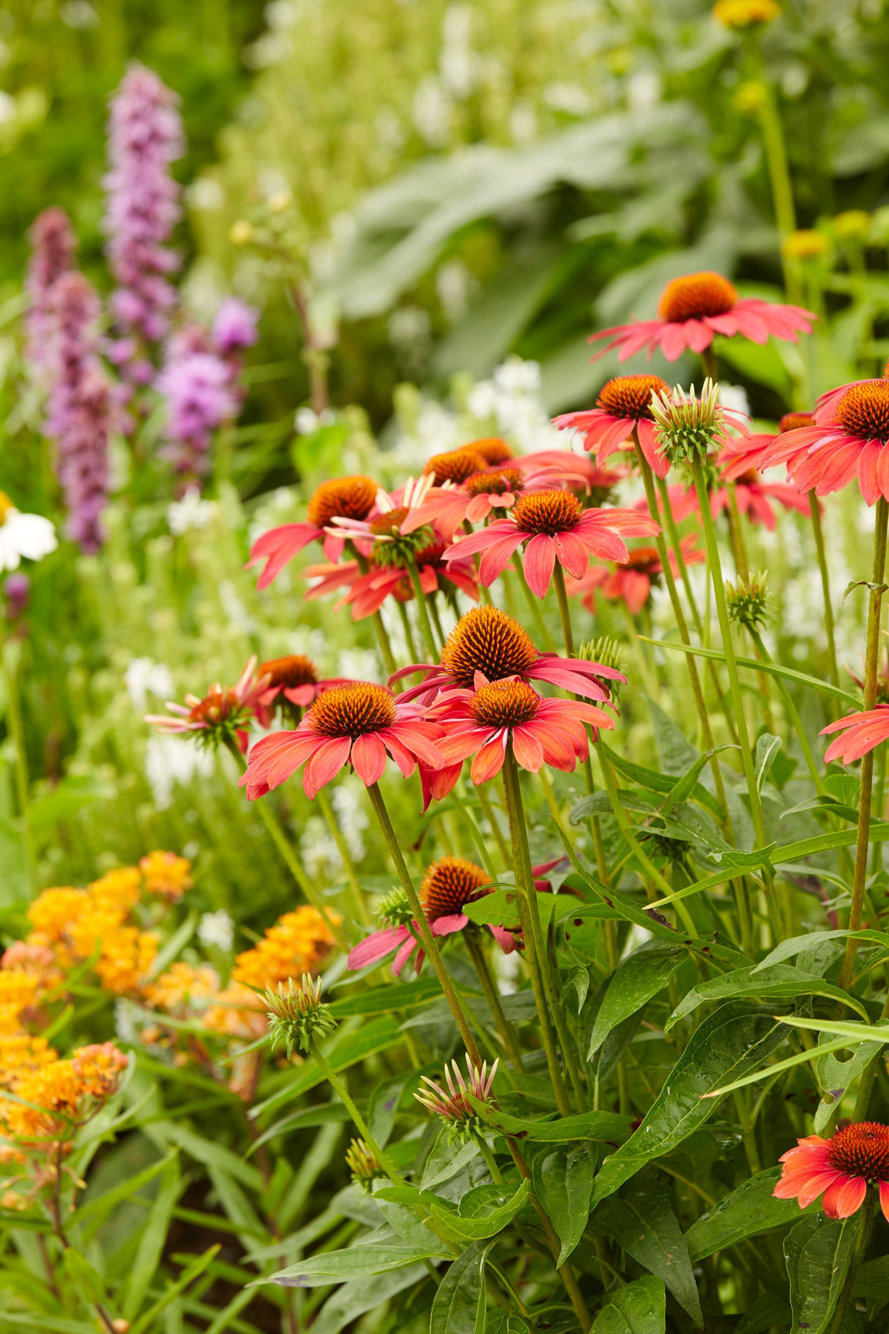 Echinacea Guide Planting Pruning And Caring For Coneflowers Garden Therapy Pollinator Plants Herbal Tea Garden Plants