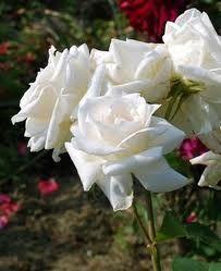 I finally found some Alice in Wonderland White Roses!