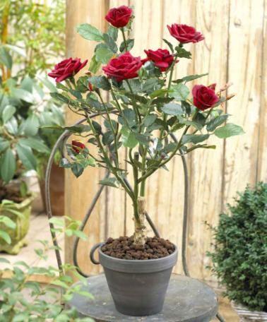 Silk Indoor Rose Bush Fragrance
