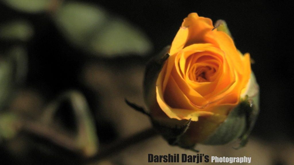 Golden beauty of Rose by Darshil Darji on 500px