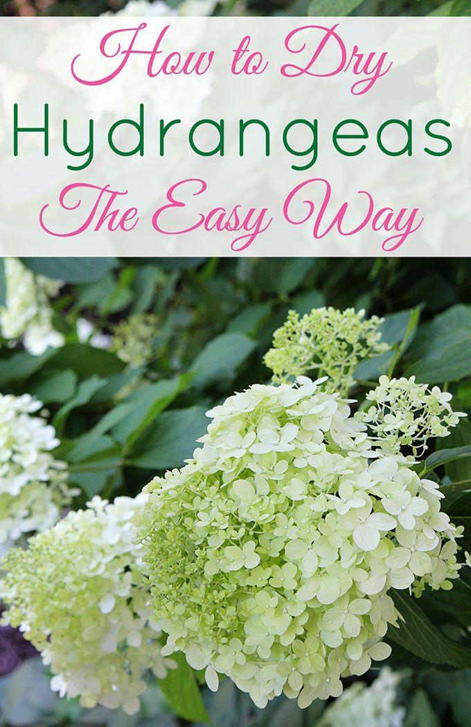 How To Dry Hydrangeas The Easy Way Hydrangea Garden Hydrangea