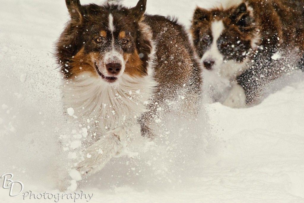 Not in Texas anymore. Aussie dogs, Australian shepherd