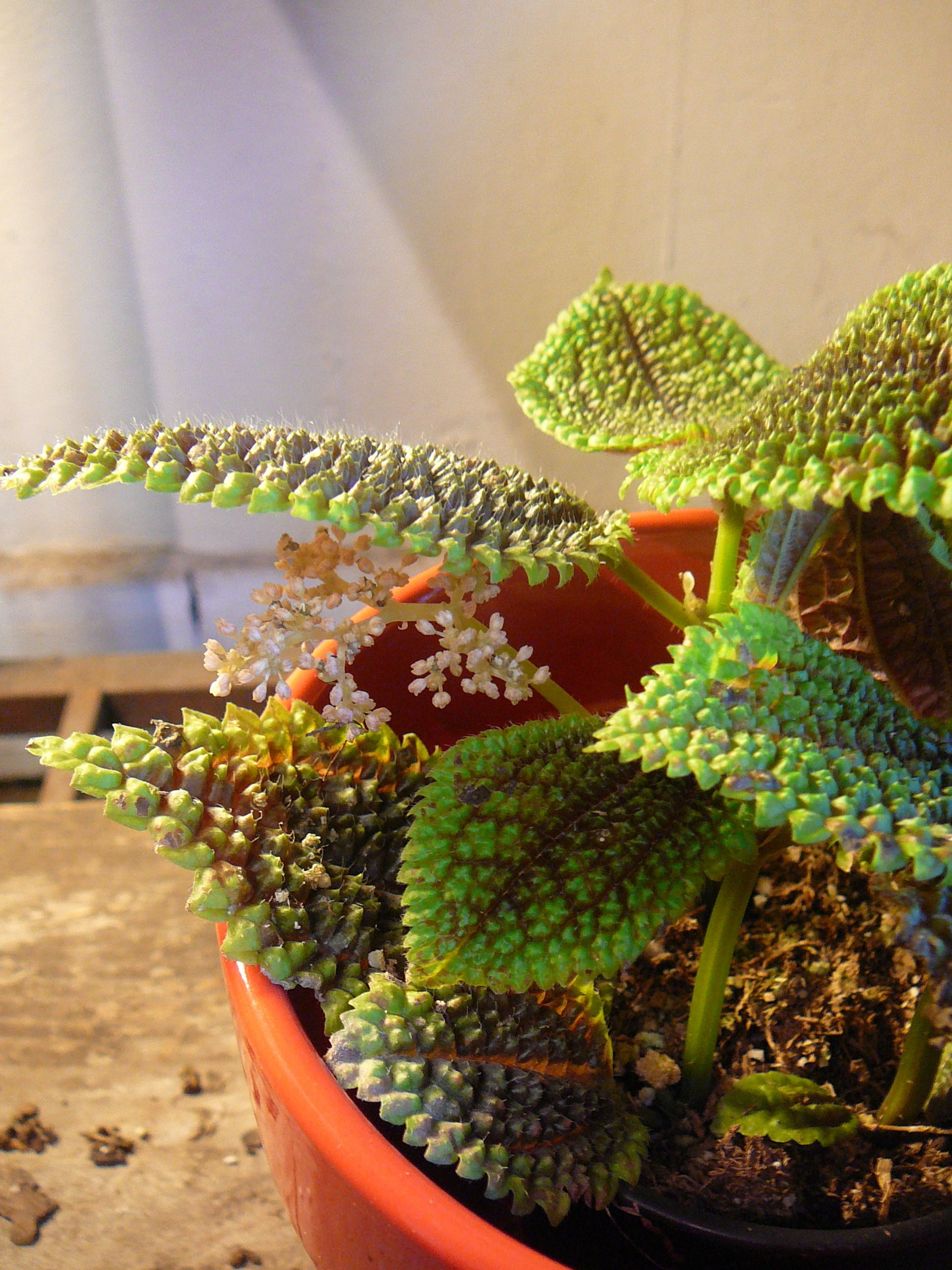 """Picture of Live Pilea Moon Valley aka Pilea involucrata 'Moon Valley' Plant Fit 4"""" Pot"""