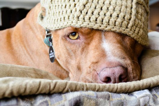 Pit Bull Exiled From Ontario Now Living In New Brunswick Animals