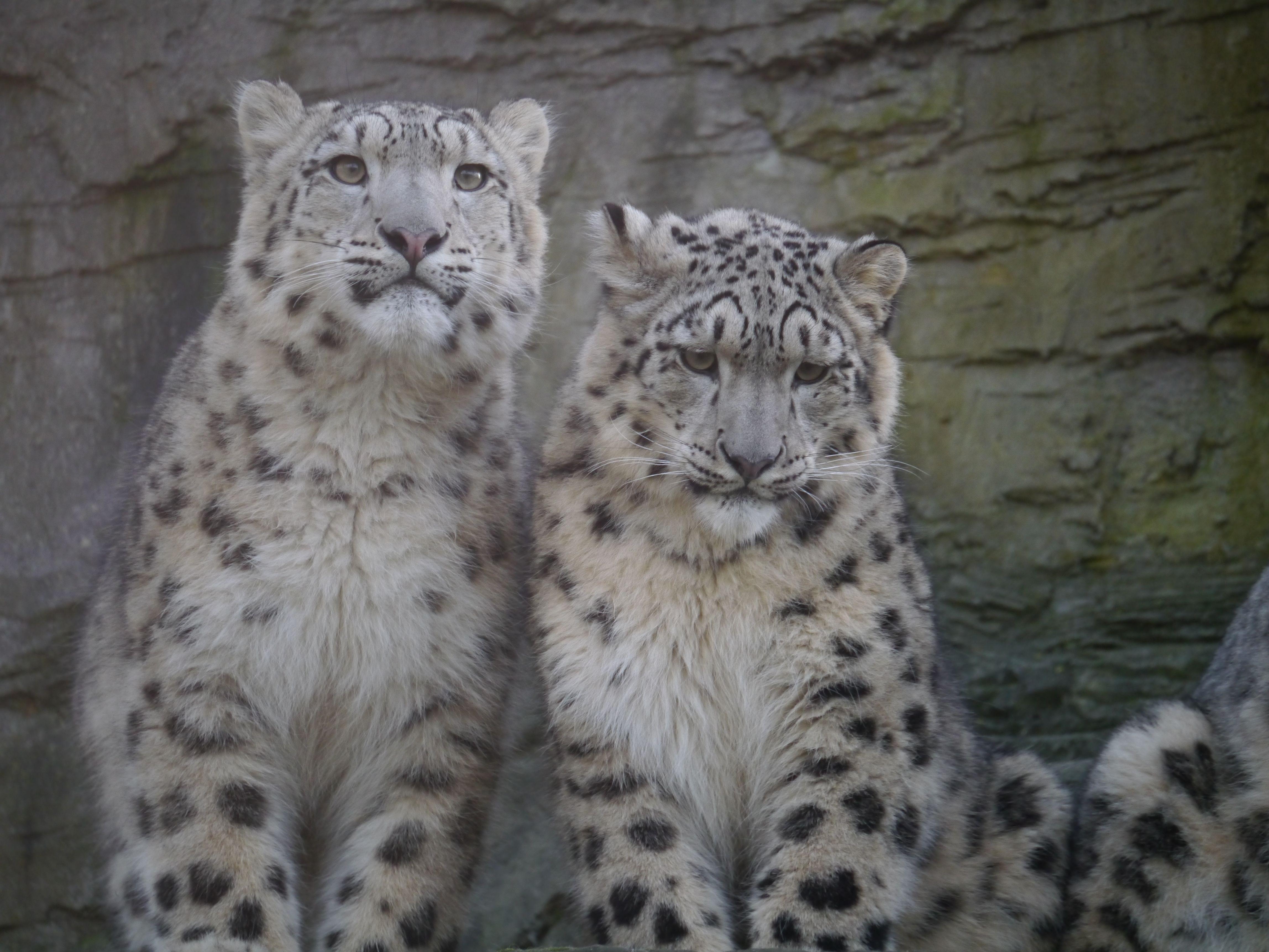 More Leopards Big Cats Snow Leopard Leopards