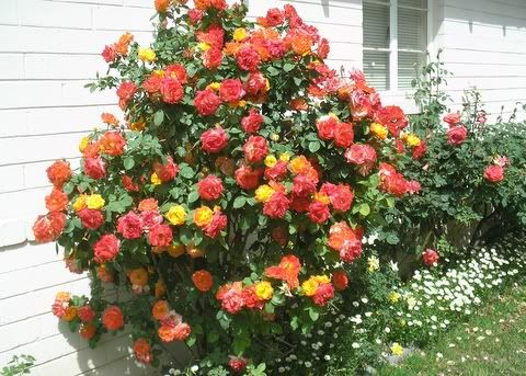 Pinata Climbing Rose Purchased From Home Depot Last Month Got Home And Looked It Up Online To Find Out It Was A Zone 6 Fl Climbing Roses Growing Roses Rose