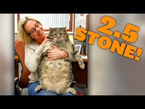 Meatball The Massive Moggy 2 5 Stone Cat On Road To Recovery Cats Weird Animals Unusual Animals