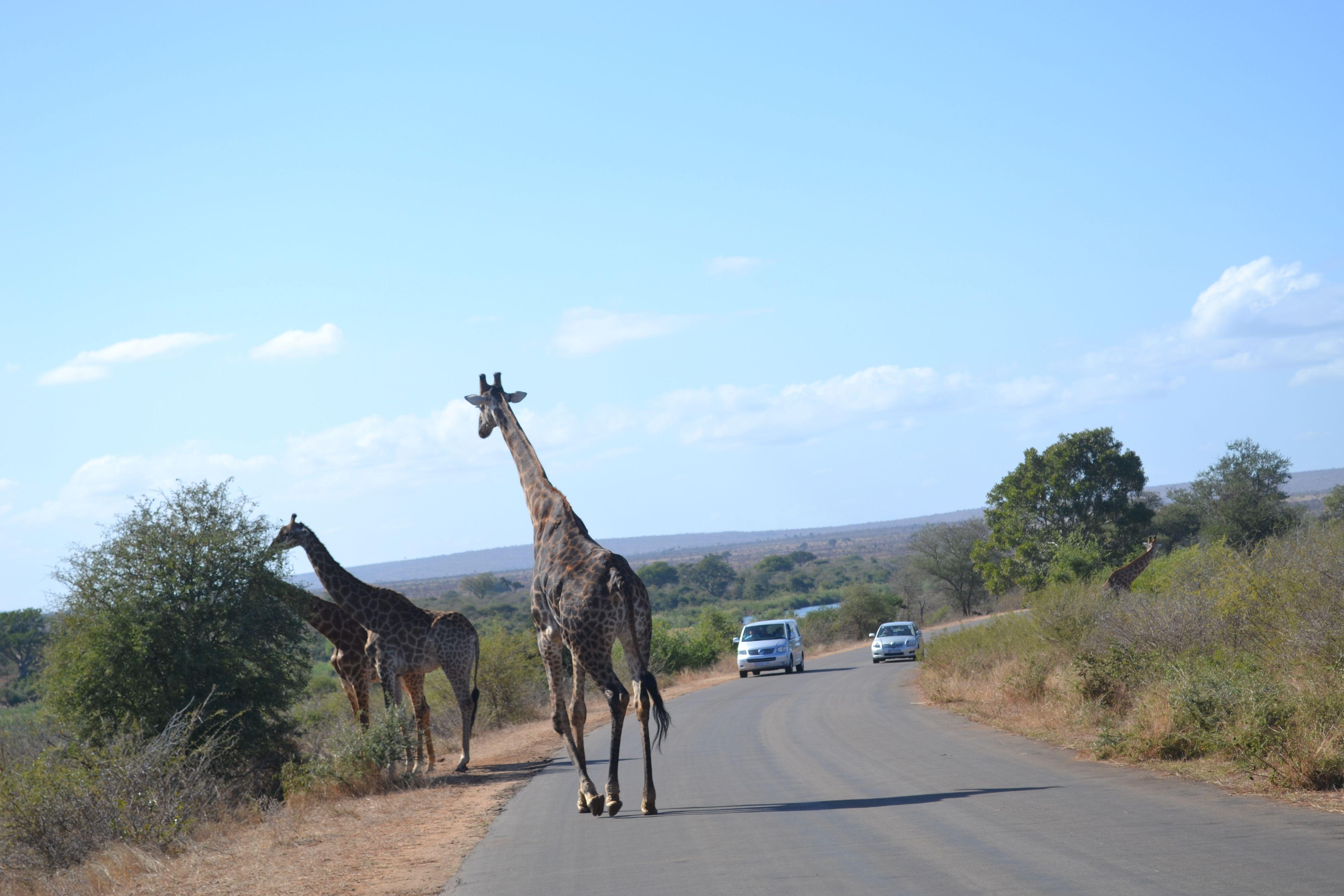 Maree's trip to ZA - Giraffe crossing!!