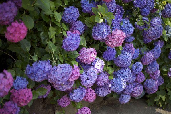 Visiting Green Valley Growers Farm Sebastopol Ca Green Valley Growers Hydrangea Flower