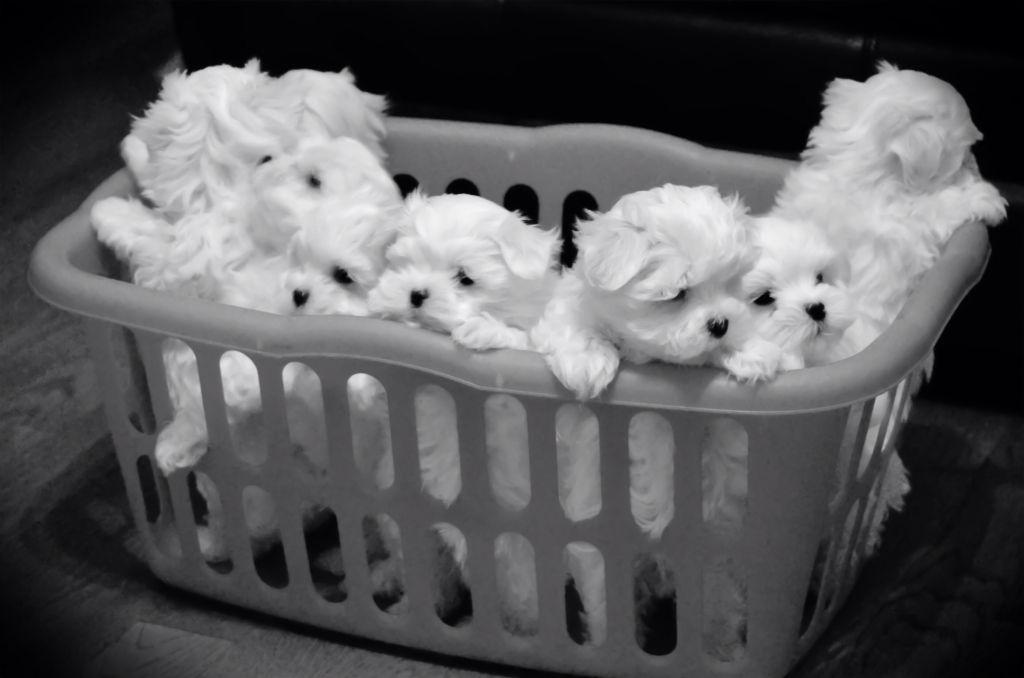 Basket Of Cuteness 7 8 Week Old Maltese Puppies Maltese Puppy Teacup Puppies Maltese Puppies