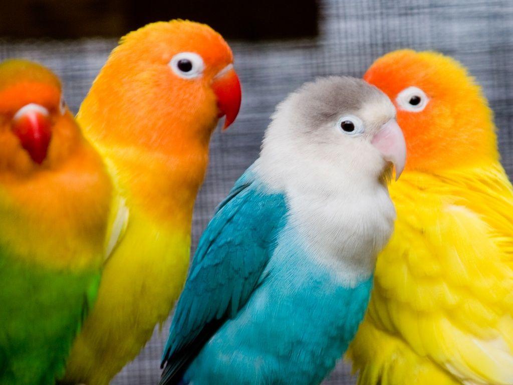 Love Birds Parrots Images Burung Beo Burung Burung Cantik