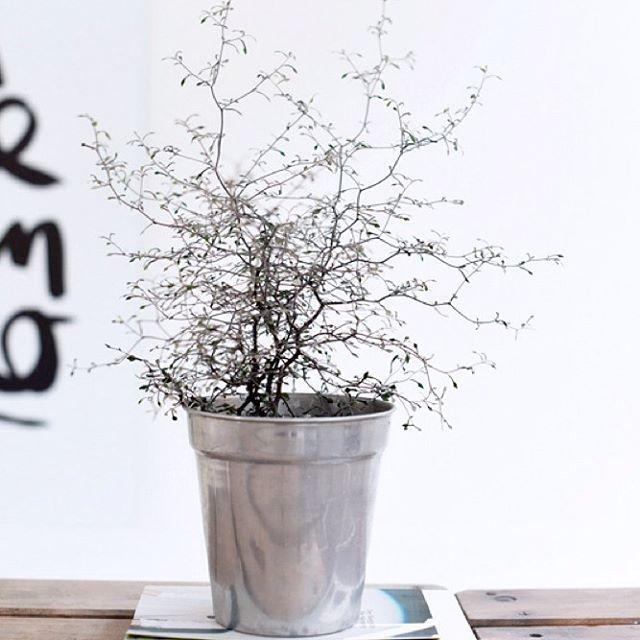 Ratespiel: Wie lange überlebt diese Pflanze im Hause Liebesbotschaft?  Multiple choice: a) gar nicht. ist bereits tot. b) Joanna, ich glaube an dich! Das schaffst du! ( = 2 Wochen) c) wo ist die Nummer vom Pflanzennotruf? Ich habe eine Meldung zu machen. (= 2 Tage)  Aber schön is sie, ne...