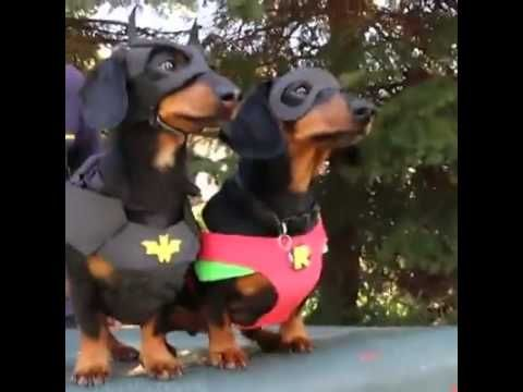 Batdog Robin To The Rescue Vine By Crusoe Celebrity