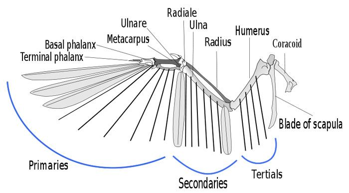 Bird Wing Anatomy Bone Diagram Smart Wiring Diagrams