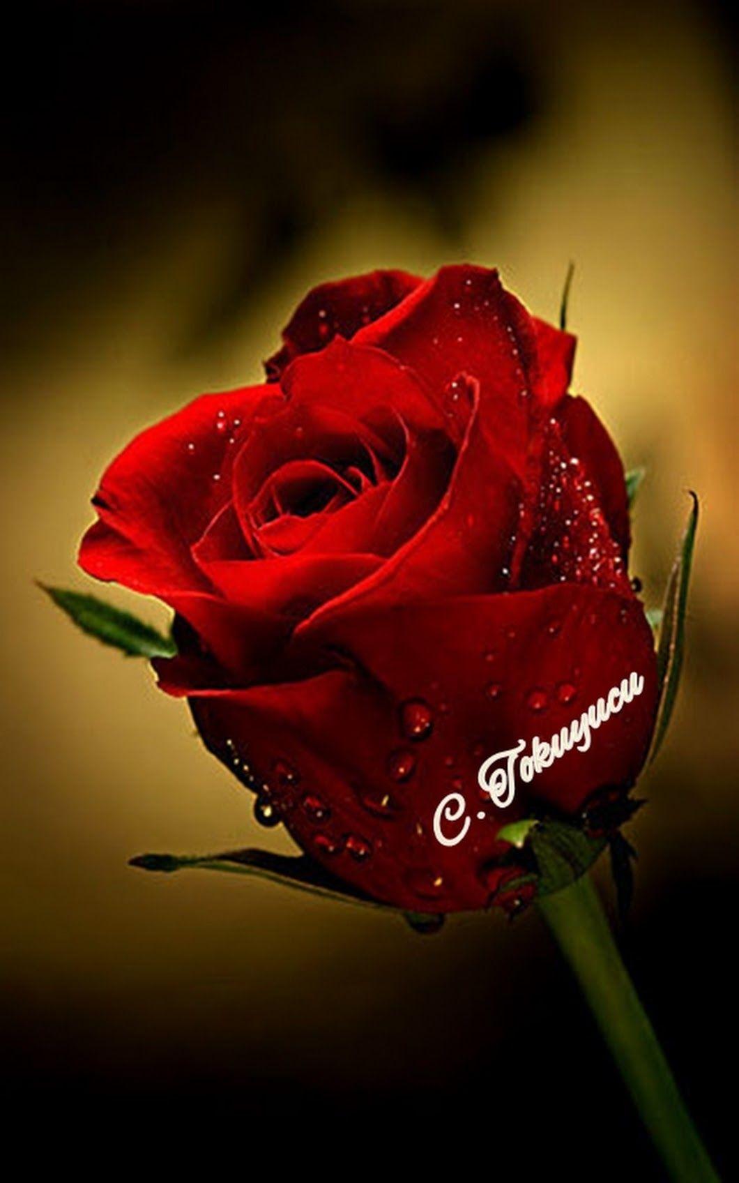 Good Evening Com Imagens Rosas Vermelhas Rosas Flores Simples