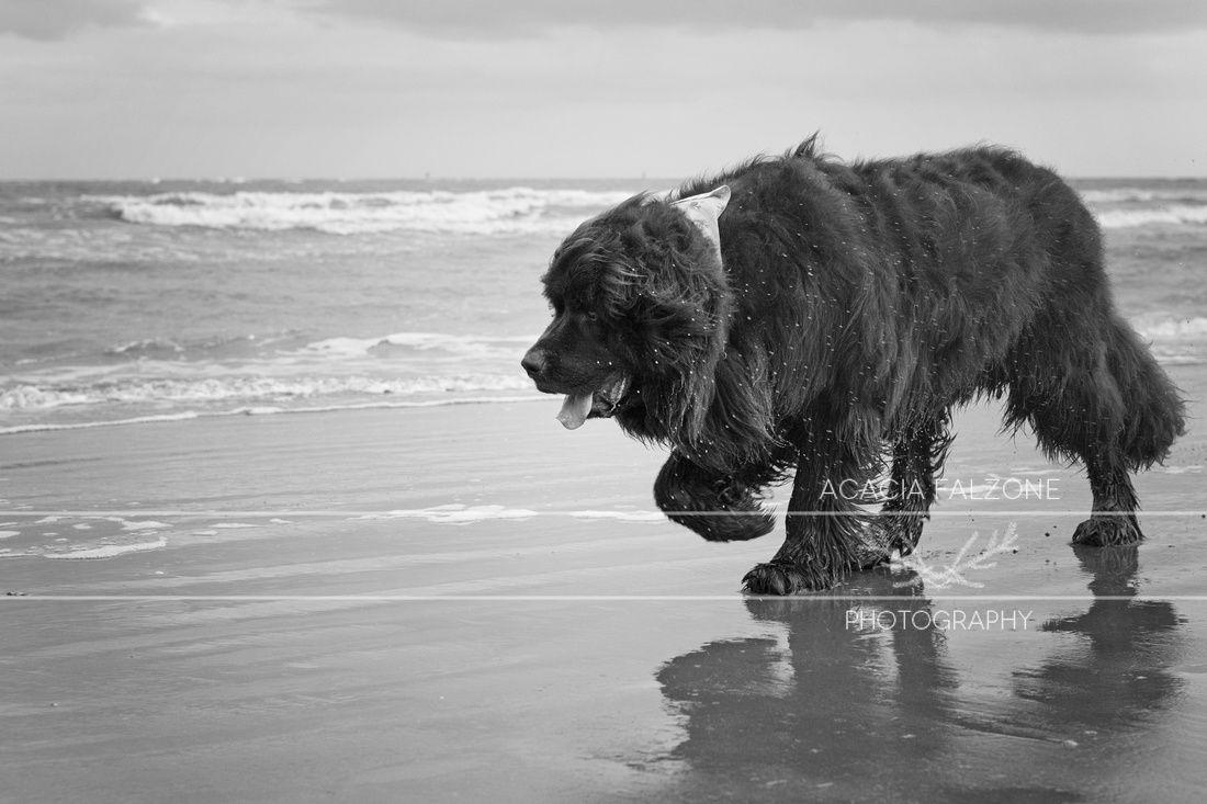 pet photography. newfoundland dog