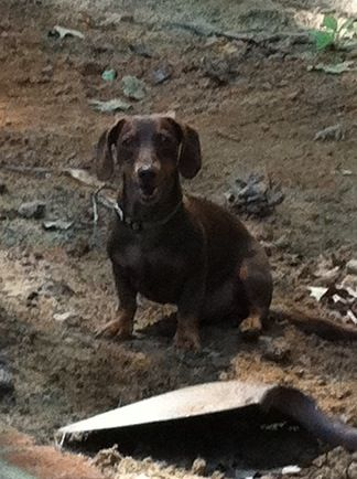 Barking At A Shovel Obviously Makes It Work Better Weiner Dog