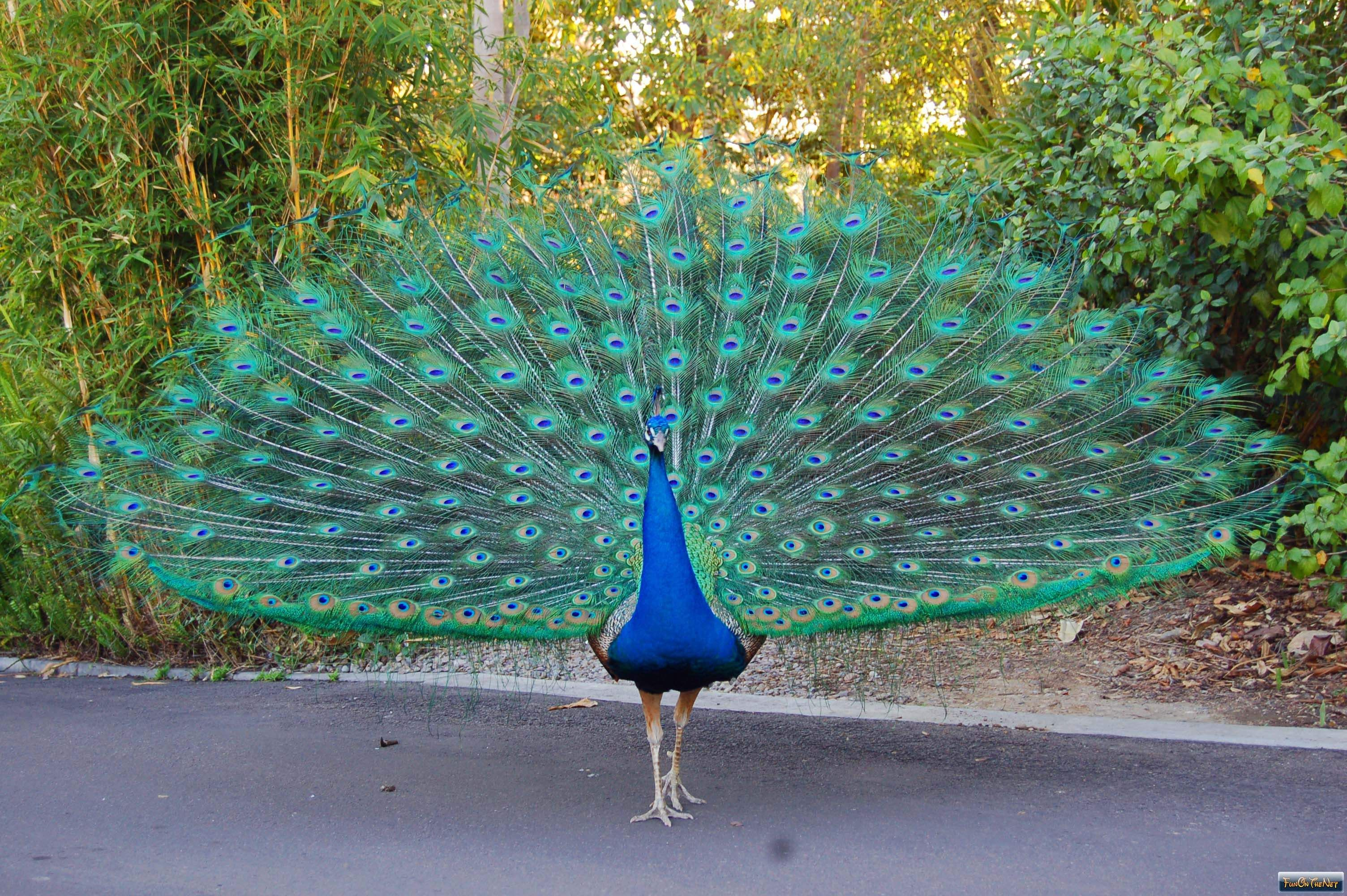 pretty peacock with wings