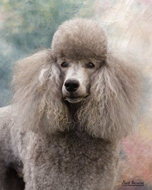 Noriko Poodles Standards Poodle Puppy Poodle Dog Poodle