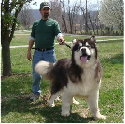 Malamutes Husky Alaskan Malamute Puppies Dogs Malamute Dog