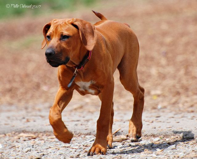 Rhodesian ridgeback these are awesome dogs
