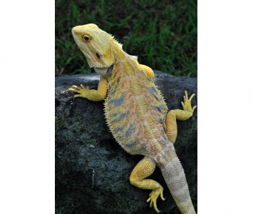 Leatherback Bearded Dragons Aquarium And Reptile Online Shop In Melbourne Specialise In Baby Turtles Lizards F Online Aquarium Shopping Secrets Beard