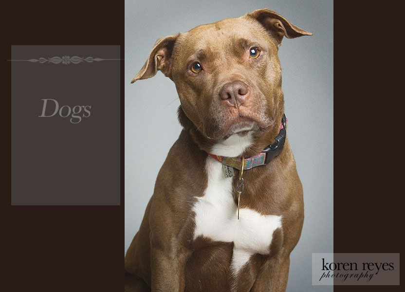 professional  Pitbull dog pictures   Professional Dog Photographers, New York, NY + Pet, Puppy, Kitten ...