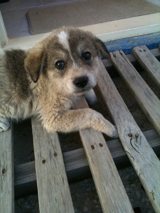 Beagle Cross Wolf Puppy Central Turkey This Brings Beagle Mix