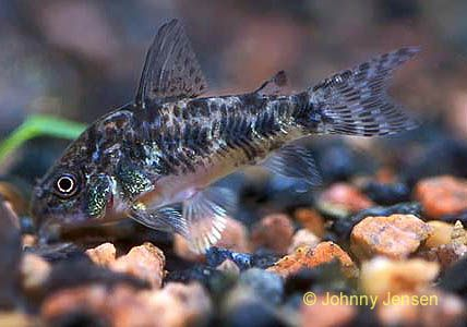 Corydoras Paleatus, Peppered Corydoras I have a Peppered Corydora too.